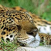 Jaguar Resting Poster
