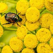 Japanese Beetle She Ruv You Ya Ya Ya Poster
