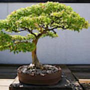 Japanese Bonsai Tree In National Poster