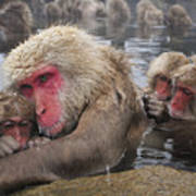 Japanese Macaque Grooming Mother Poster