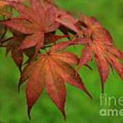 Japanese Maple Autumn Colors Poster