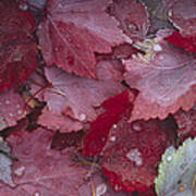 Japanese Maple Leaves With Frost Poster