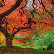 Japanese Maple Tree In Autumn Poster