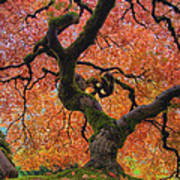 Japanese Maple Tree In Fall Poster