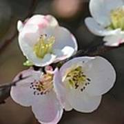 Japanese Quince 4 Poster