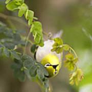 Japanese White Eyes Bird Poster