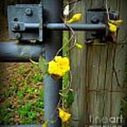 Jasmine Flowers On Gate Latch Poster