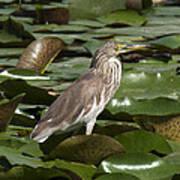 Javan Pond Heron Dthn0071 Poster