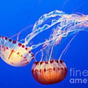 Jelly Dance - Large Jellyfish Atlantic Sea Nettle Chrysaora Quinquecirrha. Poster
