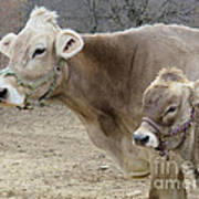 Jersey Cow And Calf Poster
