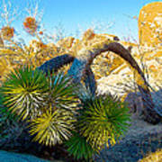 Joshua Tree Bowing Down At Quail Springs In Joshua Tree Np-ca Poster