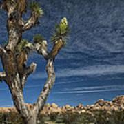 Joshua Tree In Joshua Tree National Park No. 279 Poster