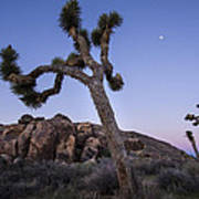 Joshua Trees In The Morning Poster