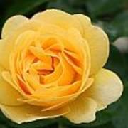 Julia Child Floribunda Rose Poster