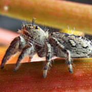 Jumper Spider Poster