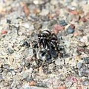 Jumping Spider Face On Poster