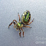 Jumping Spider - Green Salticidae Poster