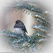 Junco In Pine Poster