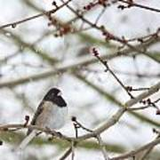 Junco In Snow Poster