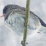 Junco On A Twig Poster