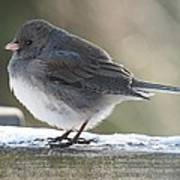 Junco On Board Poster