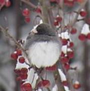 Junco Puffed Up On Crabapple Tree Poster