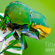 June Bug Fig Beetle Poster