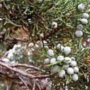 Juniper Berries Ripe Poster