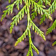 Juniper Leaf Poster
