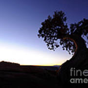Juniper Tree At Dawn Poster