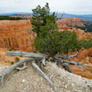 Juniper Tree Clings To The Canyon Edge Poster