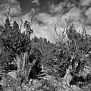Juniper Trees At The Ghost Ranch Black And White Poster