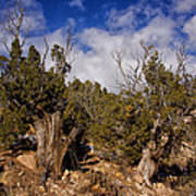 Juniper Trees At The Ghost Ranch Color Poster