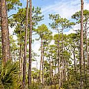 Ancient Looking Florida Forest At Aubudon Corkscrew Swamp Sanctuary Poster