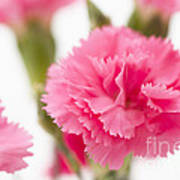 Just Carnations Poster