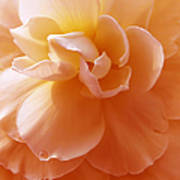 Just Peachy Begonia Flower Poster