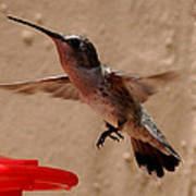 Juvenile Broadtale Anna Hummingbird Landing On The Perch Poster
