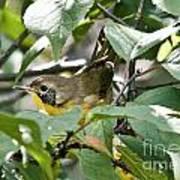 Juvenile Common Yellowthroat Poster