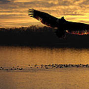 Juvenile Eagle Golden Sunset Poster
