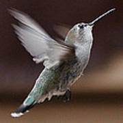 Juvenile Female Anna's Hummingbird In Flight Poster