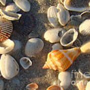Juvenile Florida Fighting Conch Poster