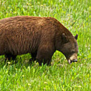 Juvenile Grizzly Bear In Kootenay Np-bc Poster
