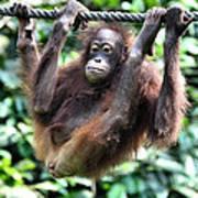 Juvenile Orangutan Borneo Poster