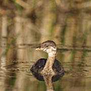 Juvenile Pied-billed Grebe Poster