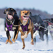 K9 Athletes Poster by Mircea Costina Photography