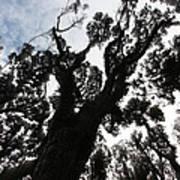 Kahikatea New Zealand Native Tree Poster