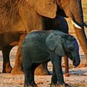 Kalahari Elephants Poster