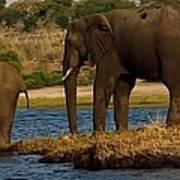 Kalahari Elephants Preparing To Cross Chobe River Poster