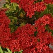 Kalanchoe Flowers Poster
