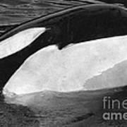 Kandu Orca Seattle Aquarium 1969 Pat Hathaway Photo Killer Whale Seattle Poster